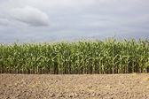 Maize field with soil — Stock Photo