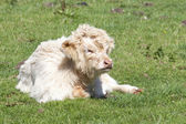 White highland calf — Stock Photo
