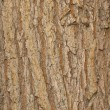Elm bark - Stock Photo