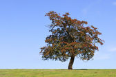 Hawthorn tree — Stock Photo
