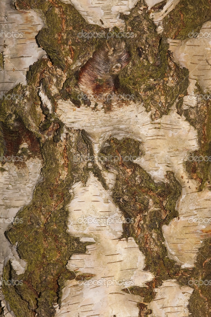 A close up of a section of bark from a birch tree — Stock Photo #3801984