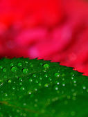 Rose leaf — Stock Photo