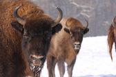 European bison, bison bonasus in the snow — Stock Photo