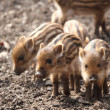 Royalty-Free Stock Photo: Sounder of young wild  boars