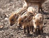 Sounder of young wild boars — Stock Photo