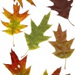 Stock Photo: Autumn oak leafs