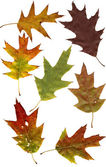 Autumn oak leafs — Stock Photo