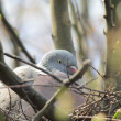 Stock Photo: Breeding dove
