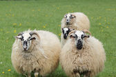 Four sheep — Stock Photo