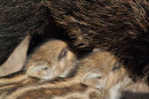 Young wild boars — Stock Photo