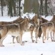 Canis lupus wolfes - Stock Photo