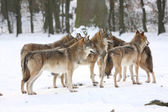 Canis lupus wolfes — Stock Photo