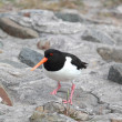 Oyster-catcher - Stock Photo