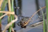 Frog between reed — Stock Photo