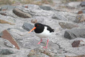 Oyster-catcher — Стоковое фото