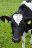牛肖像 — 图库照片