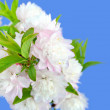 Flowering Almond Macro — Stock Photo