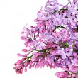 Lilac — Stock Photo #2823401