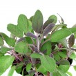 Stock Photo: Purple Sage Plant