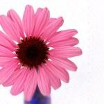 Beautiful Pink Cone Flower — Stock Photo