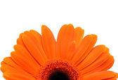 Orange Gerber Daisy Isolated — Stockfoto