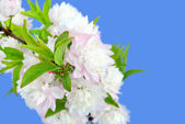 Flowering Almond Macro — Stock Photo