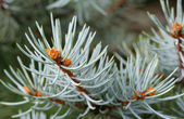 Blue Spruce Shallow Focus — Stock Photo