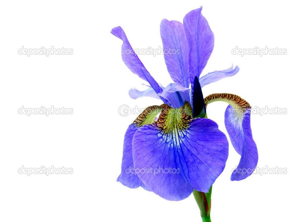 One beautiful bearded iris isolated on white with copy space. — Stock Photo #2823372