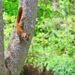 Red Squirrel on Tree — Stok fotoğraf