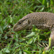 Sri Lanka (Ceylon), monitor lizard — Stock Photo