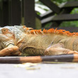 Stock Photo: Present Iguany (sort Iguana)