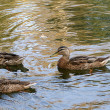 Flock of gray ducks — Stock Photo #2908979
