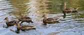 Flock of gray ducks — Stock Photo