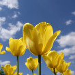 Beautiful yellow tulips - Stock Photo
