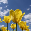 Stock Photo: Beautiful yellow tulips