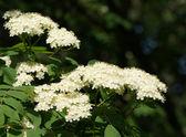 Rowan flores blancas — Foto de Stock
