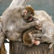 Foto de Stock  : Japanese macaque (snow monkey)
