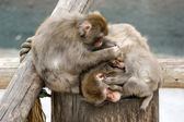 Japanese macaque (snow monkey) — Stock Photo