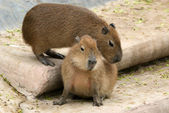 The European beaver or Eurasian beaver — Stock Photo