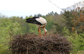 Large white stork in the nest — Stock Photo