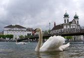 Luzern, schweiz, vita svanarna vid vierwaldstättersjön på bakgrunden bri — Stockfoto