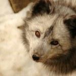 Observer. White fox — Stock Photo