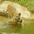 Stock Photo: Tiger goes across river.
