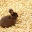 Stock Photo: Black Rabbit at straw.