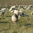 Sheep graze. - Stock Photo