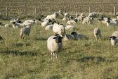 Sheep graze. — Stock Photo