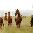 Stock Photo: Curiosity. Herd of horse.