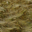 Stock Photo: Field of rye