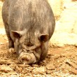 Stock Photo: Pot-bellied pig.