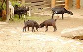 Niños. yarda de los ganados. — Foto de Stock